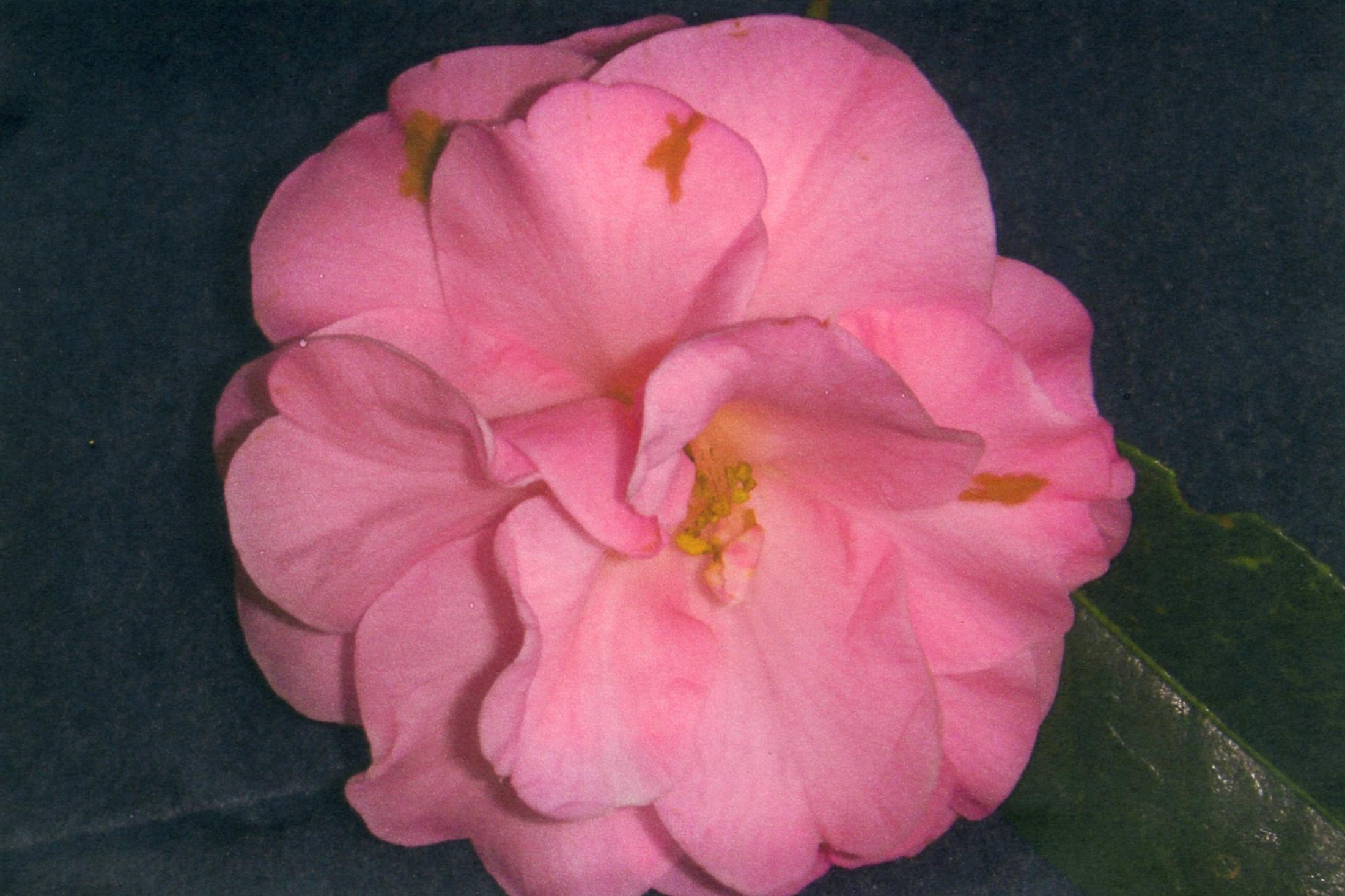 490 Helenes Beauty