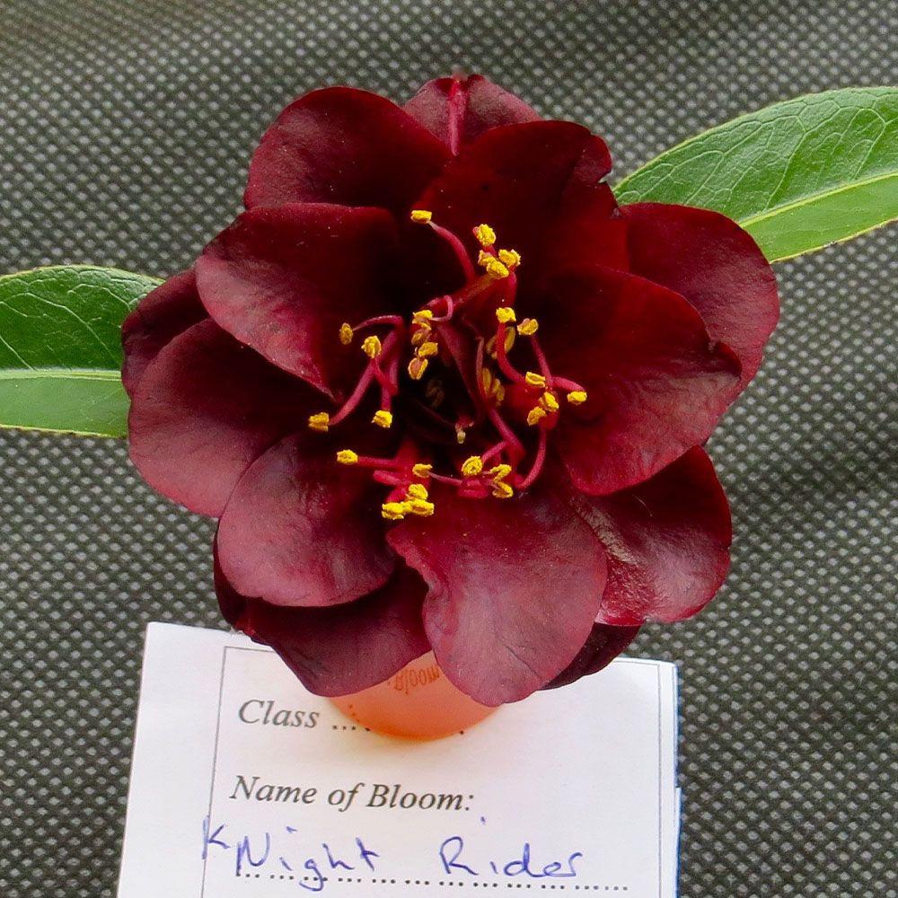Camellias 0001 Img6572 Resize 1000x1000